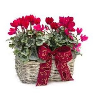 christmas-cyclamen-basket